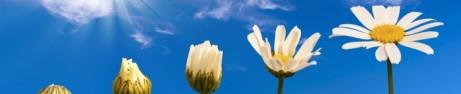 Sue's daisies